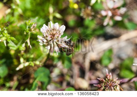 bee collects nectar on clover, white clover, flowers, green grass