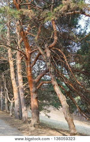 Thickset trunks of pine trees. Spring Nature Caucasian Mineral Waters in the area.