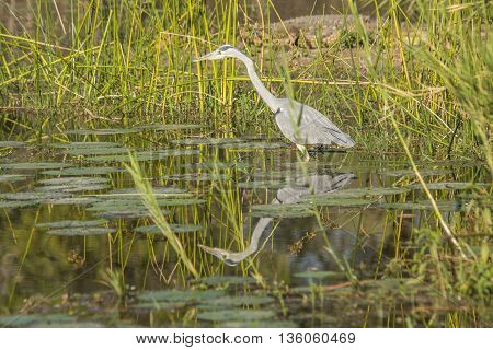 gray heron fishing in a pond in Kruger Park