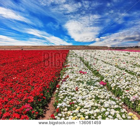 The kibbutz field with blossoming buttercups - ranunculus of different colors. Spring flowering buttercups