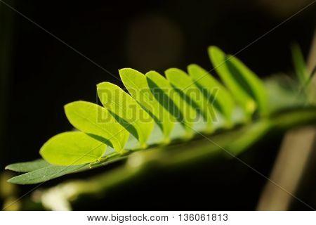 Tamarind leave on dark color background. Small leaf on black color background.