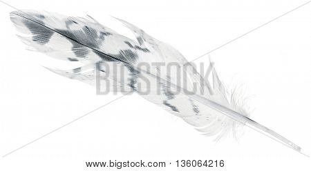 light feather with black spots isolated on white background