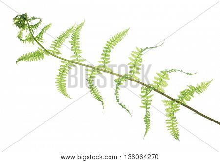 green fern branch isolated on white background