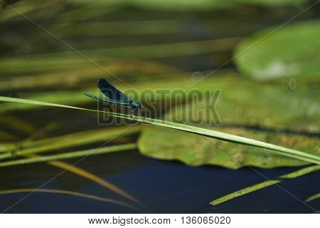 blue dragonfly sitting on a blade of grass still in the pond