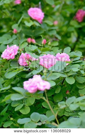 a hedge of bushes blooming roses with bright flowers