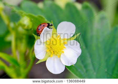 bright small flower strawberry and ladybug closeup macro