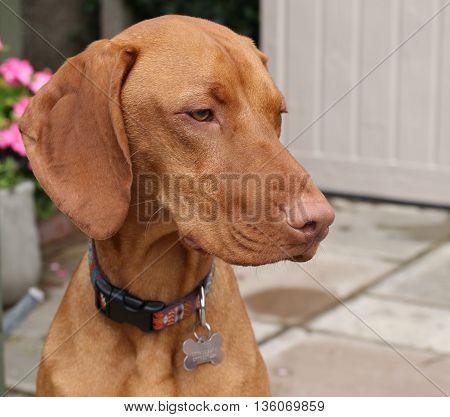 A portrait of a young hungarian vizsla dog