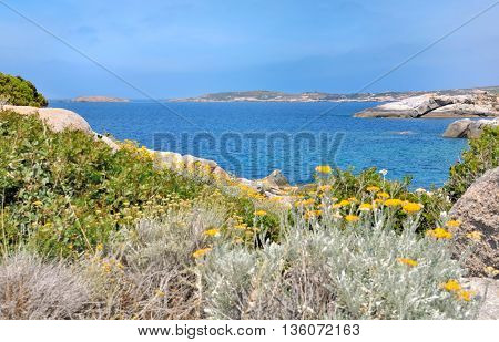 succulent plants with flowers on rocky Corsica coast