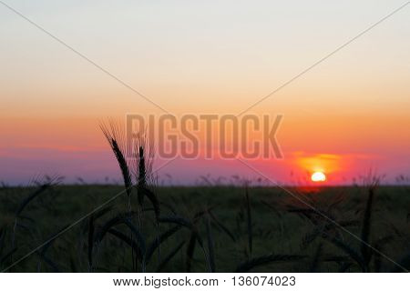 Colorful sunset over wheat field. Rich, golden harvest.