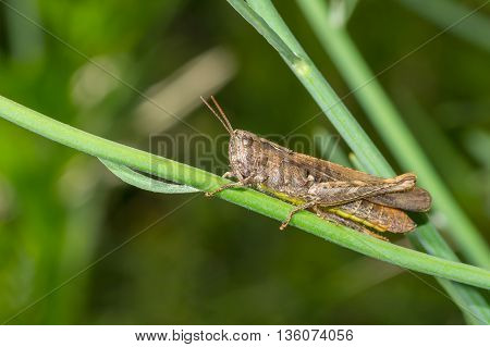 Lonely grasshopper sitting on a flower stem in green jungle