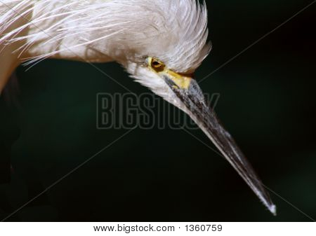 Egret Stare