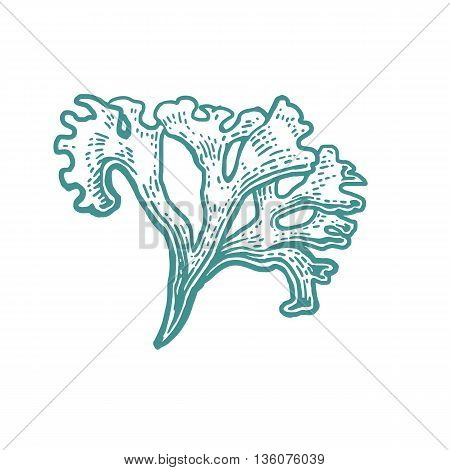 Coral isolated on white background. Vector vintage engraving illustration for menu web and label. Hand drawn in a graphic style.