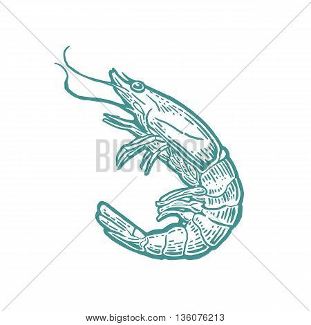 Shrimp isolated on white background. Vector vintage engraving illustration for menu web and label. Hand drawn in a graphic style.