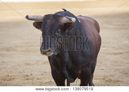 Bull about 650 Kg in the sand Andujar Spain