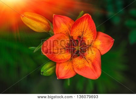 wild fire red flower with a bud on the summer green background at sunset