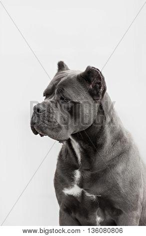 The portrait of Italian cane-corso dog in the park