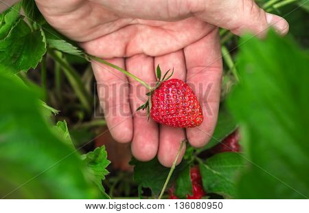 ripe berry strawberry in the garden on the palm