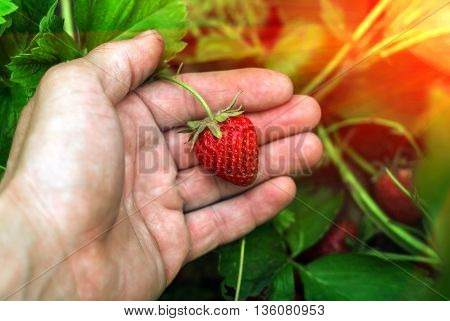 ripe berry strawberry in the garden on the palm in the sunset