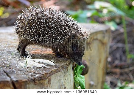 Little brave hedgehog walking through the woods on a sunny day.The wild hedgehog in their natural habitat.Curiosity is stronger than fear.