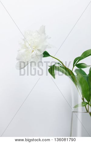Single white peony in glass vase over grey simple background. low aperture shot selective focus on petals