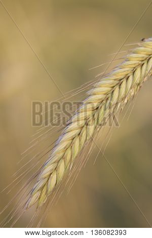 Bread ear leaning under the weight of ripening grain. Ripened grain harvest.