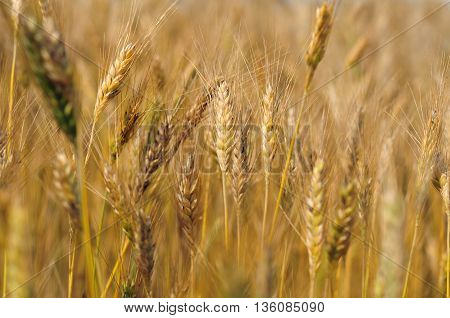 Close up of barley field shallow depth of field