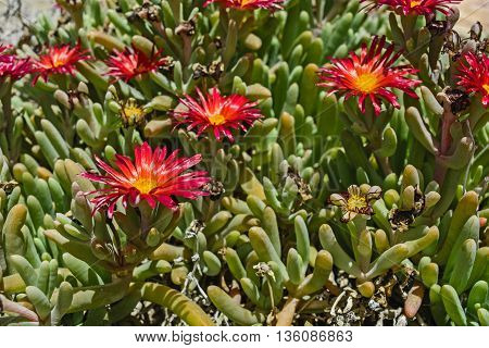 Beautiful cactus plant of the genus Delosperma bloom in defying the scorching summer sun.