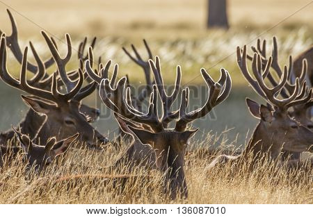 Red Deer stags (Cervus elaphus) resting in the long grass in velvet antlers.