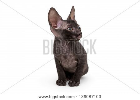 Small kitten black Cornish Rex isolated on white
