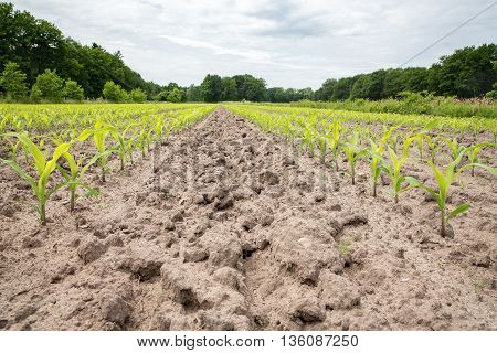 Corn field with rows of maize plants in sandy soil