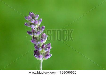 Lavender Flower Macro