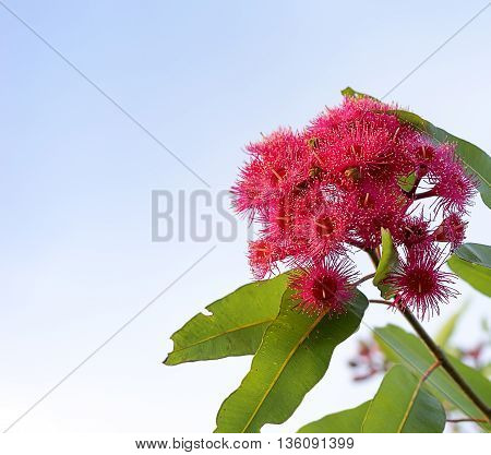 Australian Red flowering gum eucalyptus tree in bloom against blue sky background
