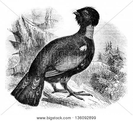 The grand Tetras or bruyeres Cock Tetrao urogallus, vintage engraved illustration. Magasin Pittoresque 1836.