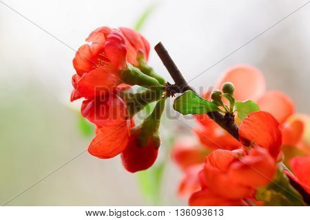 Red flowers of the Japanese quince. Flowers have blossomed and are lit with the sun foliage light green. Close up small depth of sharpness copyspace left