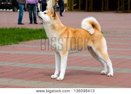 The Japanese Akita Inu profile. The Japanese Akita Inu is in the park.