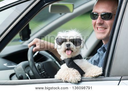 poster of Small dog maltese in a car with open window and his owner in a background. Dog wears a special dog c