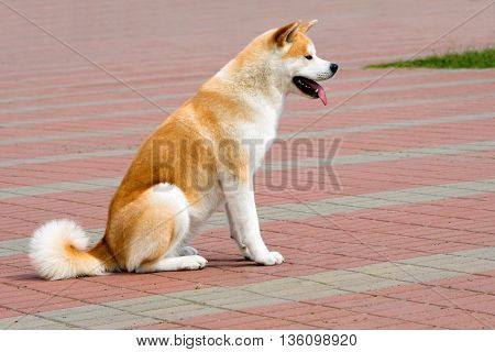 The Japanese Akita Inu seats. The Japanese Akita Inu is in the park.