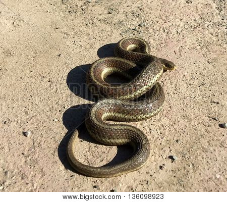 California Red Sided Garter Snake Coiled Shadow Peeking