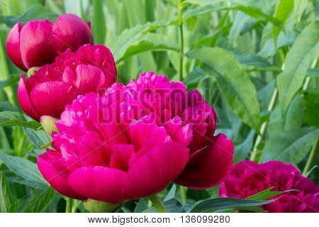 Bright pink peonies in a summer garden. Russia.