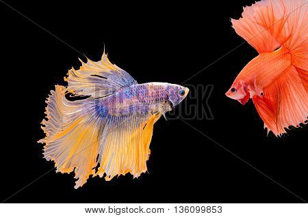 The confrontation of fighting fish colourful and orange.