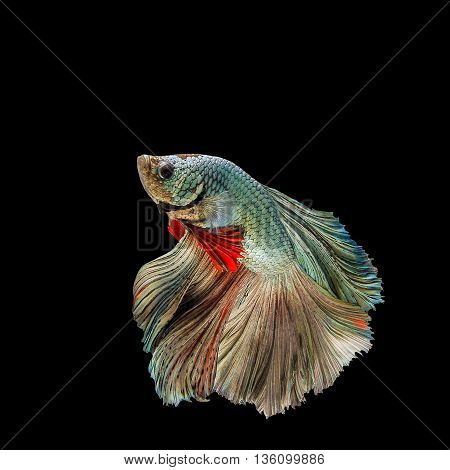 siamese fighting fish green and brown from Thailand.