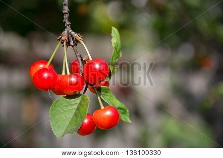 Red cherries on a tree in nature in the early summer.