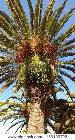 Typical uruguayan palm tree. Fern plant. Rocha Orange fruit/seeds