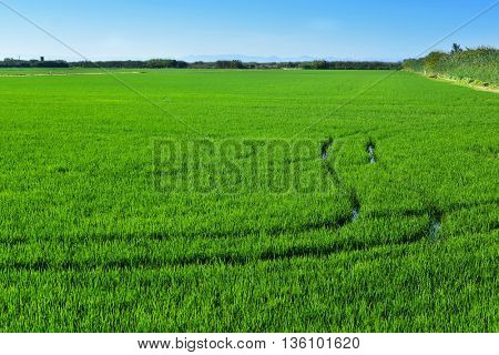panoramic view of a paddy field in the Albufera in Valencia, Spain