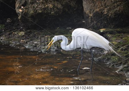 Egret feeding on a small fish at the edge of water.