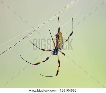 Golden Silk Orb Weaver Spider in Florida