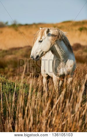 Beautiful white horse of Camargue photographed vertically