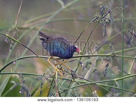 purple gallinule in Florida wetlands
