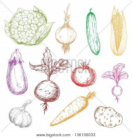 Healthy multicolored vegetables sketch icons with sweet corn and beet with leaves, ripe tomato, potato and eggplant, tangy onion, radish and garlic, juicy carrot, cucumber and cauliflower