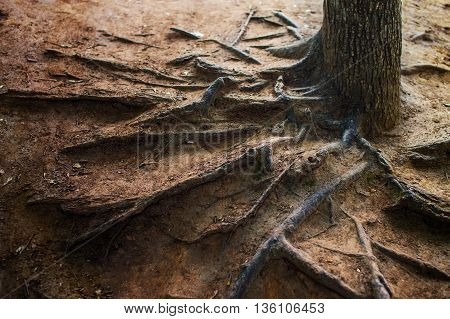 exposed tree roots. exposed roots of an old tree on the bare ground. soil erosion